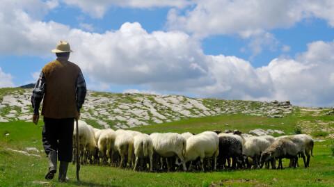 Shepherding